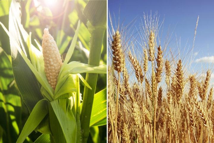 Giá lúa mì hồi phục, ngô và đậu tương vẫn giao dịch trong biên độ lình xình
