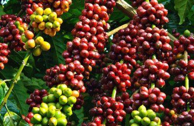 Nguyên liệu công nghiệp - cà phê