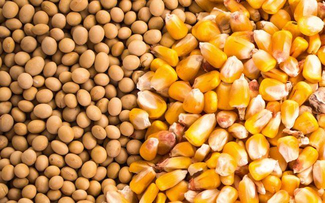 Ngô và đậu tương