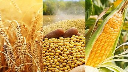 Lúa mỳ tăng phiên thứ 5 liên tiếp, chất lượng mùa vụ nông sản tại Mỹ đang xấu đi